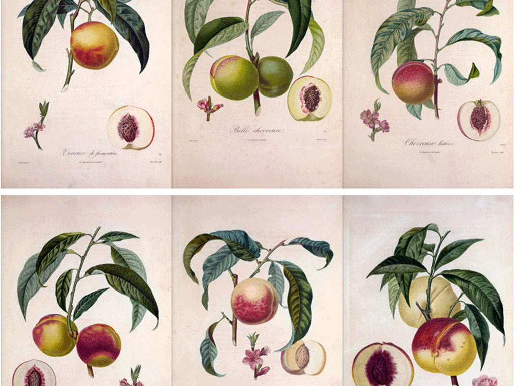 彩铅手绘插画水果法兰西果树