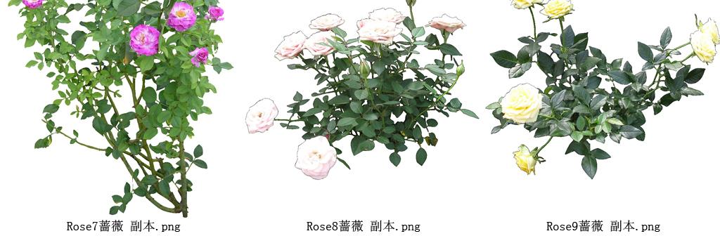 手绘蔷薇果素材