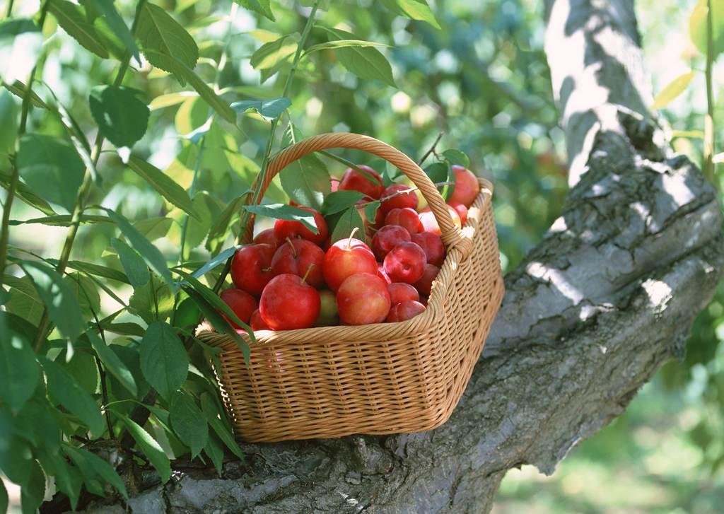 果蓝收获水果果园摘果果实果树丰收