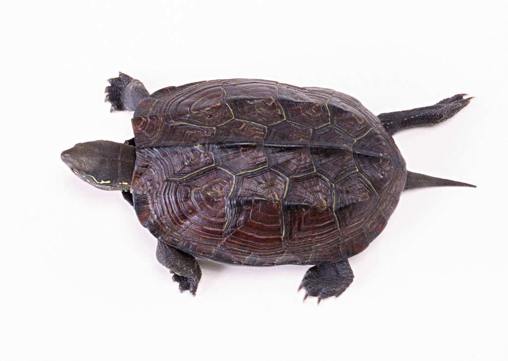 乌龟动物世界海龟地球生物摄影素材图片 模板下载 1.34MB 其他大全 标志丨符号