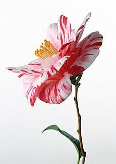 白底鲜花图片素材 白底鲜花图片素材下载 白底鲜花背景素材 白底鲜花图片