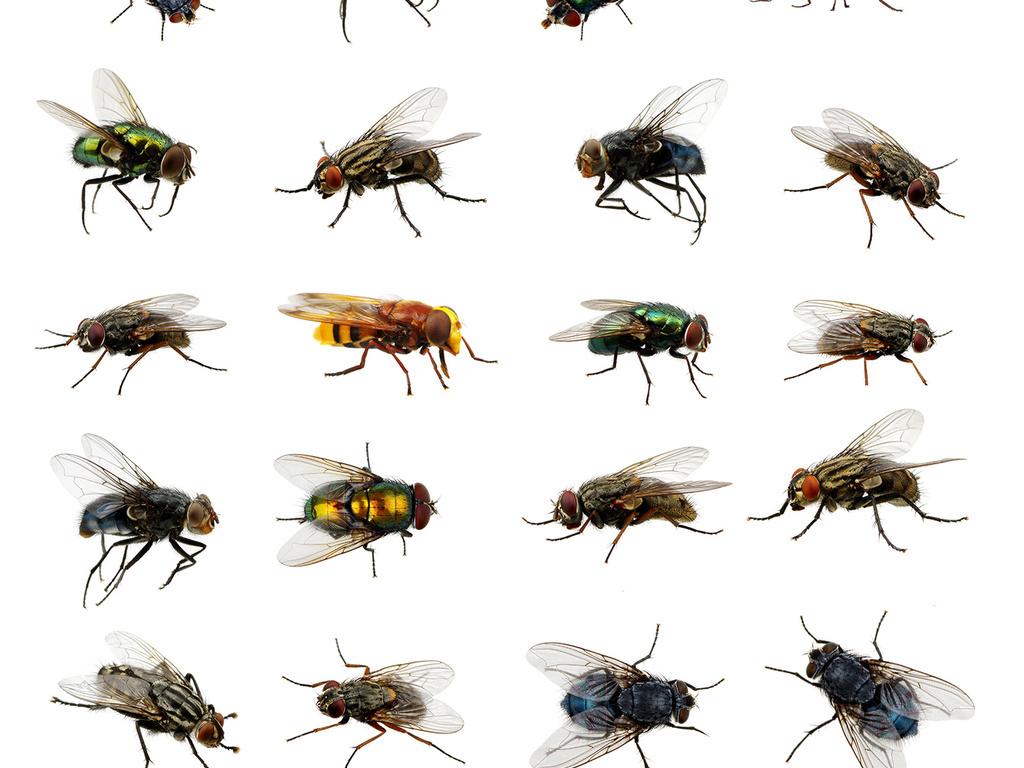 设计元素 自然素材 动物 > 各种苍蝇合集高清苍蝇无背景素材  版权
