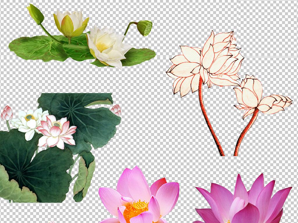 花卉背景蓝莲花