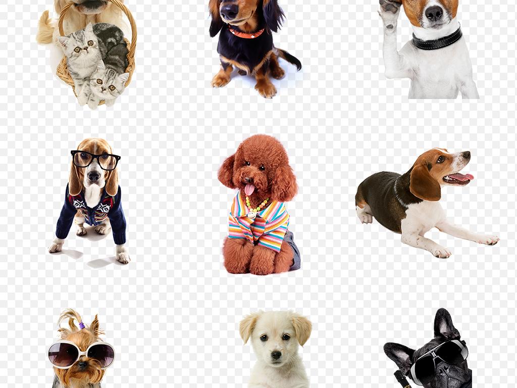 狗狗动物宠物店泰迪金毛哈士奇海报素材背景图片png