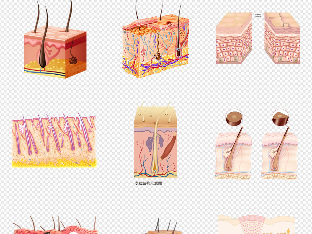 皮肤层结构细胞组织护肤品保养png素材图片_模板下载