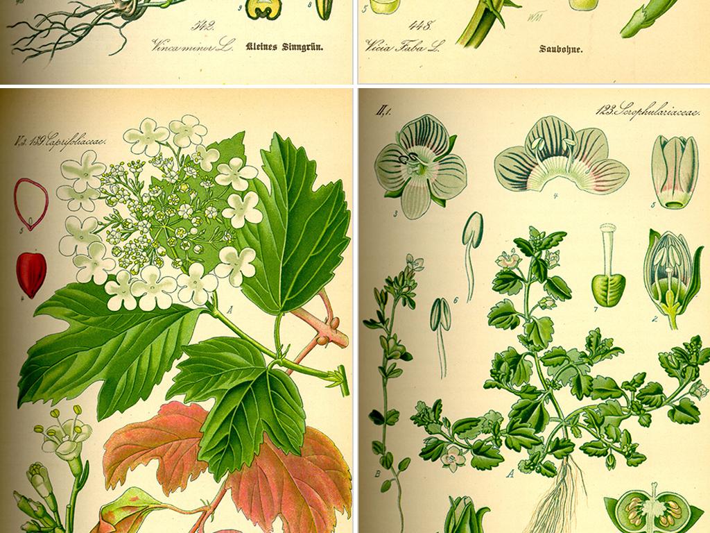 手绘植物植物图鉴药材