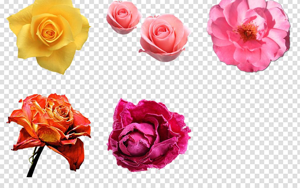 唯美梦幻月季玫瑰花花朵花卉海报免扣png
