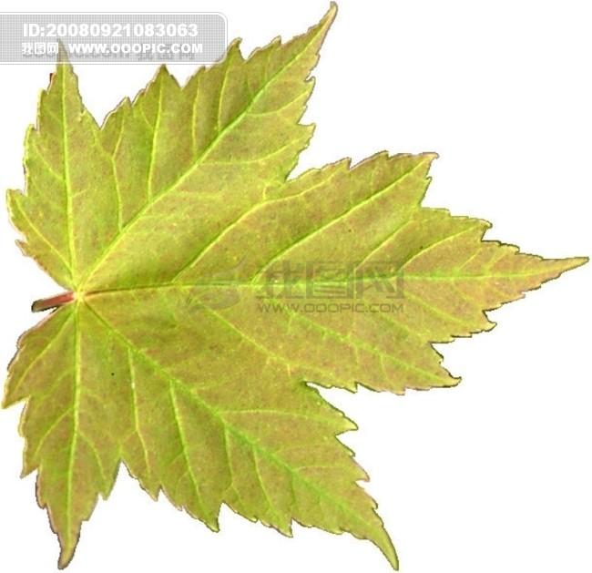 茂盛 绿叶 叶子 树叶 落叶 叶脉.