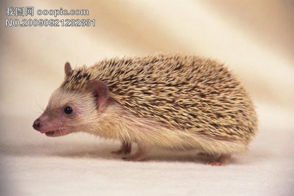 小动物宠物刺猬40模板下载 小动物宠物刺猬40