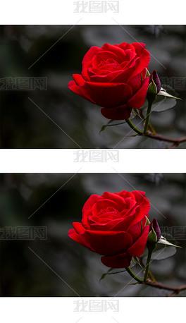 枝头盛开的红月季