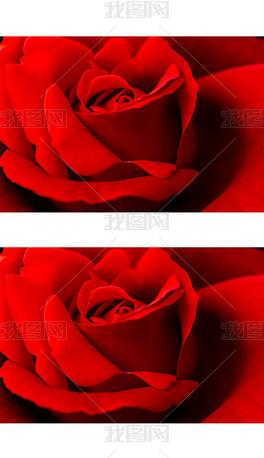 特写红色月季花