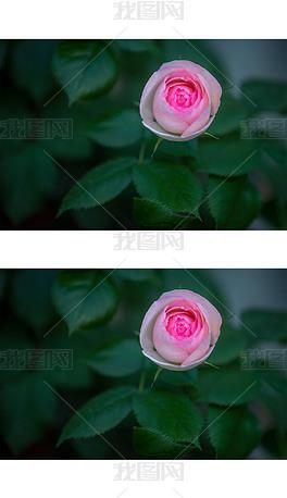 美丽的粉红月季花