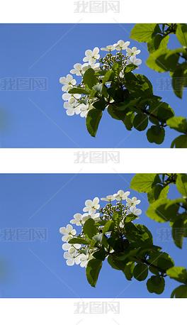 聚八仙花摄影图